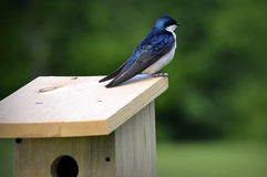 American Tree Swallow Stock Image