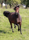 American Trotter Stock Image
