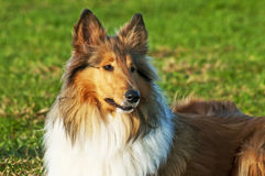 American true-bred collie. American true-bred female collie dog Royalty Free Stock Images