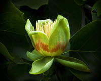 American tulip tree (Liriodendron tulipifera) in blossom Stock Photography