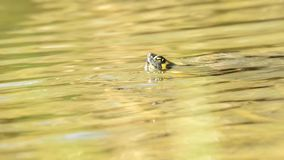 American turtle in German pond stock video footage