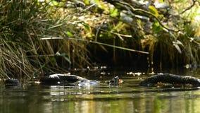 American turtle in German pond stock video footage