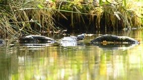 American turtle in German pond stock video