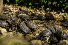 American turtles in water pool Royalty Free Stock Photo