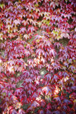 American Vine Leaves In Autumn Stock Image