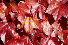 American Vine Leaves In Autumn Stock Photography