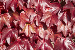 American Vine Leaves In Autumn Royalty Free Stock Photos