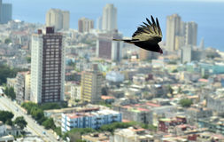 The American vultures (Cathartidae Lafresnaye) soars over Havana Cuba. Royalty Free Stock Photo