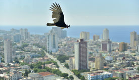 The American vultures (Cathartidae Lafresnaye) soars over Havana Cuba. Birds eye view over city of Havana,Cuba. aerial view Stock Photo