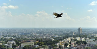 The American vultures (Cathartidae Lafresnaye) soars over Havana Cuba. Royalty Free Stock Photography
