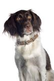 American Water Spaniel. A brown and white American Water Spaniel looking into the camera royalty free stock image
