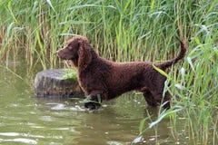American Water-Spaniel in een rivier Stock Fotografie