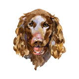 American Water Spaniel in watercolor Royalty Free Stock Images