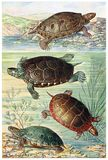 American Water Turtles Royalty Free Stock Images