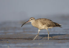 American Whimbrel, Numenius phaeopus Royalty Free Stock Photos