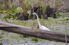 American White Great Egret bird, Okefenokee Swamp National Wildlife Refuge Royalty Free Stock Photos