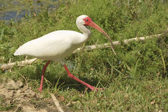 American White Ibis Royalty Free Stock Images