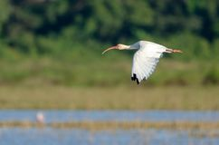 American White Ibis Eudocimus Albus Royalty Free Stock Photos