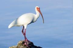 American white ibis, eudocimus albus Stock Image