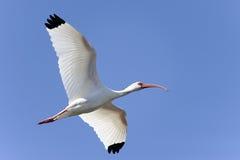 American white ibis, eudocimus albus Stock Photography