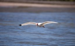 American White ibis Eudocimus albus bird flies. In and lands in a pond at Tigertail Beach on Marco Island, Florida Royalty Free Stock Image