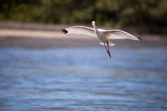 American White ibis Eudocimus albus bird flies. In and lands in a pond at Tigertail Beach on Marco Island, Florida Royalty Free Stock Photos