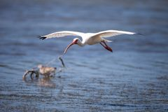 American White ibis Eudocimus albus bird flies. In and lands in a pond at Tigertail Beach on Marco Island, Florida Royalty Free Stock Images