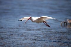 American White ibis Eudocimus albus bird flies. In and lands in a pond at Tigertail Beach on Marco Island, Florida Stock Photos