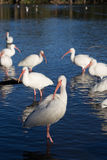 American white ibis (Eudocimus albus) cleaning itself with flock in background Stock Images