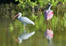 The American white ibis (Eudocimus albus) Stock Photo
