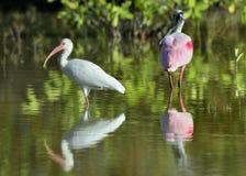 The American white ibis (Eudocimus albus) Royalty Free Stock Photo