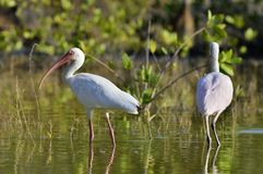 The American white ibis (Eudocimus albus) Stock Image
