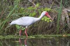 American white ibis (Eudocimus albus) foraging in a swamp Stock Photo