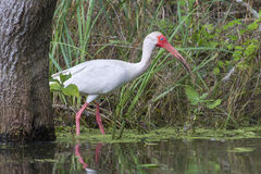 American white ibis (Eudocimus albus) foraging in a swamp Royalty Free Stock Photo
