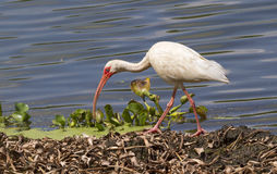 American white ibis (Eudocimus albus) foraging in a swamp Royalty Free Stock Photography