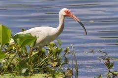 American white ibis (Eudocimus albus) foraging in a swamp Stock Image