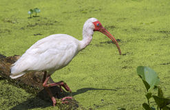 American white ibis (Eudocimus albus) foraging in a swamp Royalty Free Stock Photos