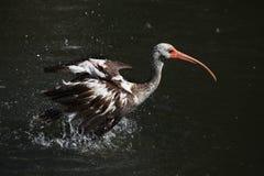 American white ibis (Eudocimus albus). Royalty Free Stock Photo