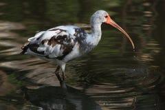 American white ibis (Eudocimus albus). Royalty Free Stock Photos