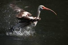 American white ibis (Eudocimus albus). Royalty Free Stock Images
