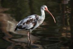 American white ibis (Eudocimus albus). Stock Images