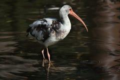American white ibis (Eudocimus albus). Stock Photography