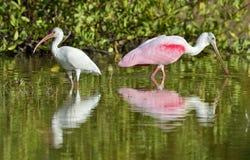 The American white ibis (Eudocimus albus) Stock Photography