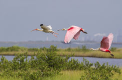 The American white ibis (Eudocimus albus) and roseate spoonbills (Platalea ajaja)flying over swamp