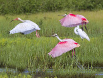The American white ibis (Eudocimus albus) and roseate spoonbills (Platalea ajaja) flying over a swamp. Along the seashore, Galveston Island, Texas, USA royalty free stock photography