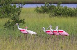 The American white ibis (Eudocimus albus) and roseate spoonbills (Platalea ajaja) foraging in a swamp. The American white ibis (Eudocimus albus) and roseate Royalty Free Stock Photos