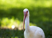 American White Ibis (Eudocimus albus) in search of food Stock Photo