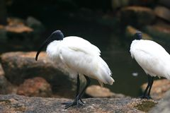 American white ibis Royalty Free Stock Photo