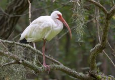 American white ibis (Eudocimus albus) in a tree Royalty Free Stock Photo