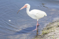 American White Ibis In Florida. Photo I took of an American White Ibis at Earl Brown Park in Deland Florida near a retention pond Royalty Free Stock Photos